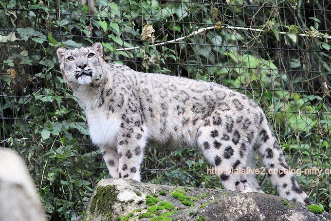 Snowleopardasahi201710