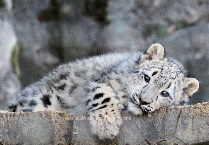 Snowleopardfuku2017113