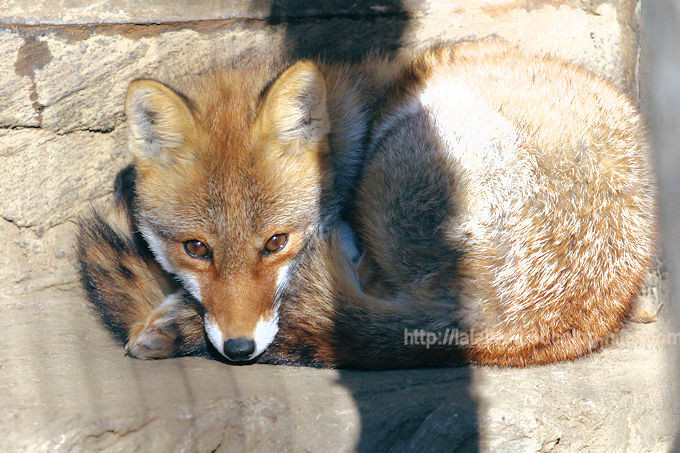 Japanese_red_fox201712