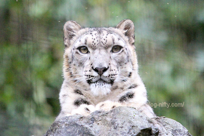 Snowleopardasahi2017104
