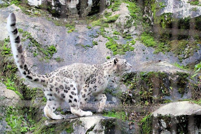 Snowleopardasahi2017105