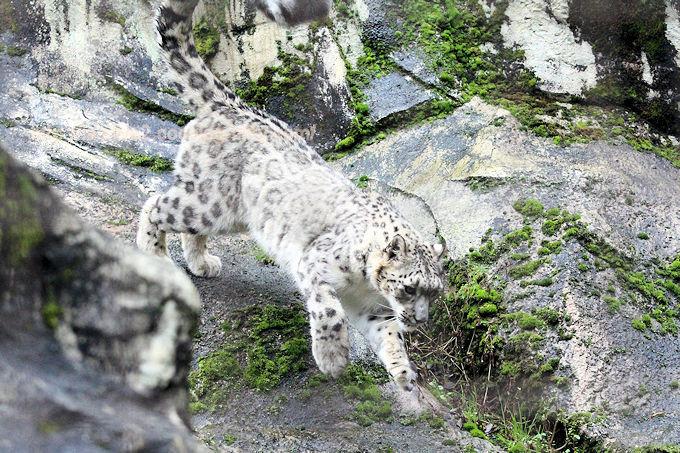 Snowleopardasahi2017106