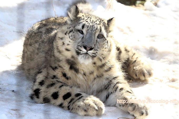 Snowleopard_fuku20180206