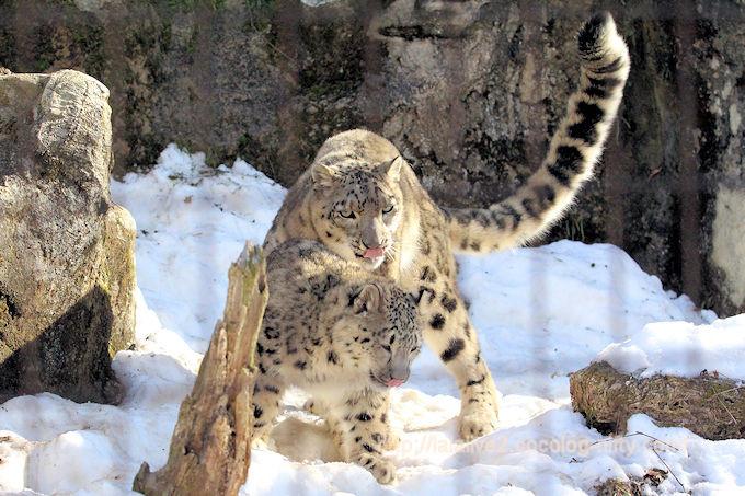 Snowleopard_mimifuku20180206