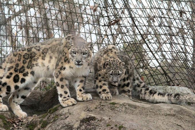 Snowleopard_mimifuku201802061