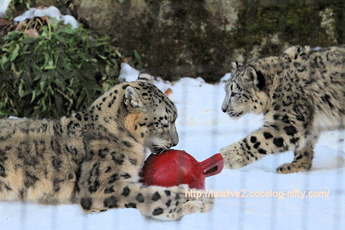 Snowleopard_fuku201802063