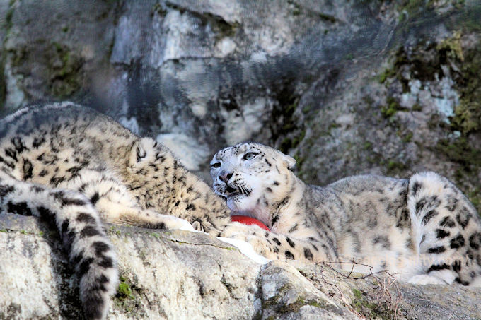 Snowleopard_mimifuku201802063