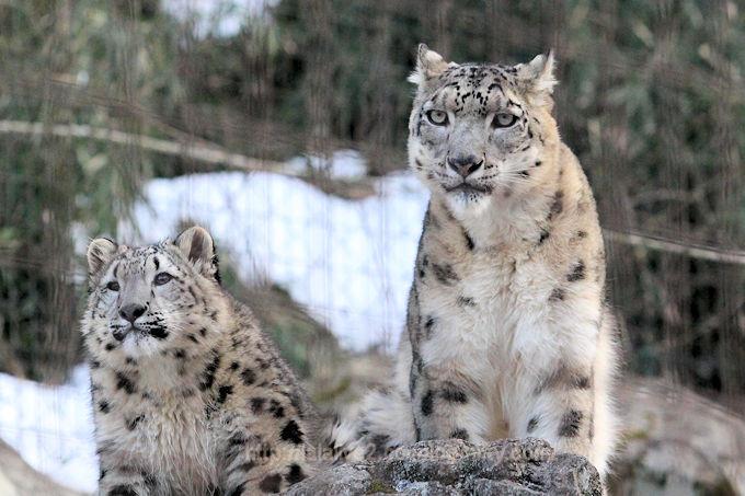 Snowleopard_mimifuku201802064