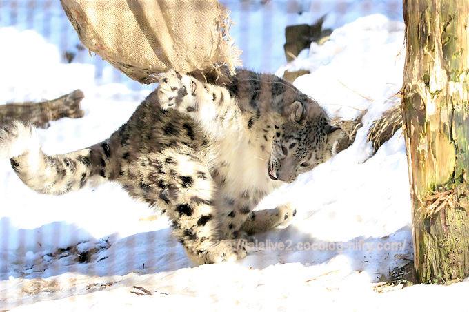 Snowleopard_fuku201802064