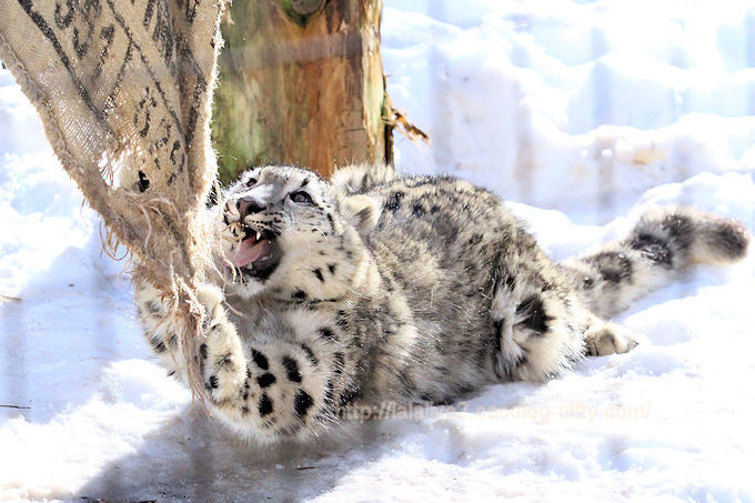 Snowleopard_fuku201802065