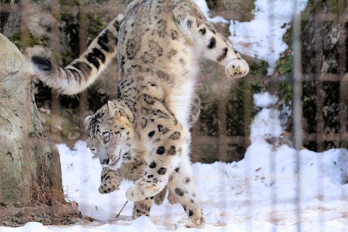 Snowleopard_mimifuku201802066