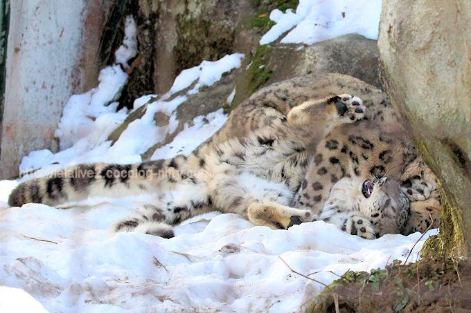 Snowleopard_mimifuku201802067