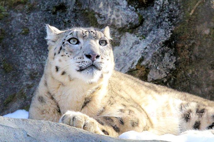 Snowleopard_mimi201802062