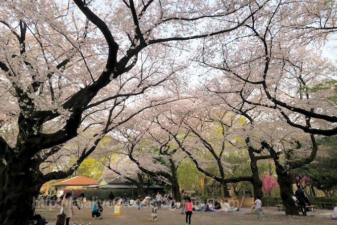 Sakura20180329
