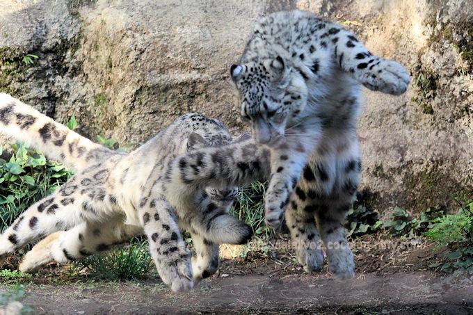 Snowleopardfukumimi201804