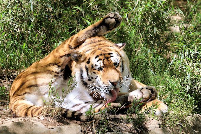 Tiger201804