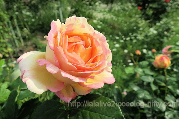 Roses201805