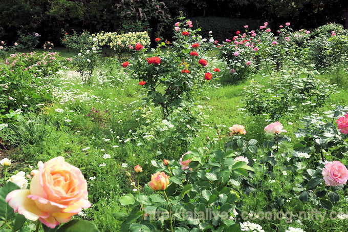 Roses2018051