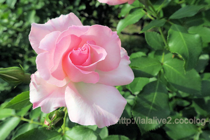 Roses2018052
