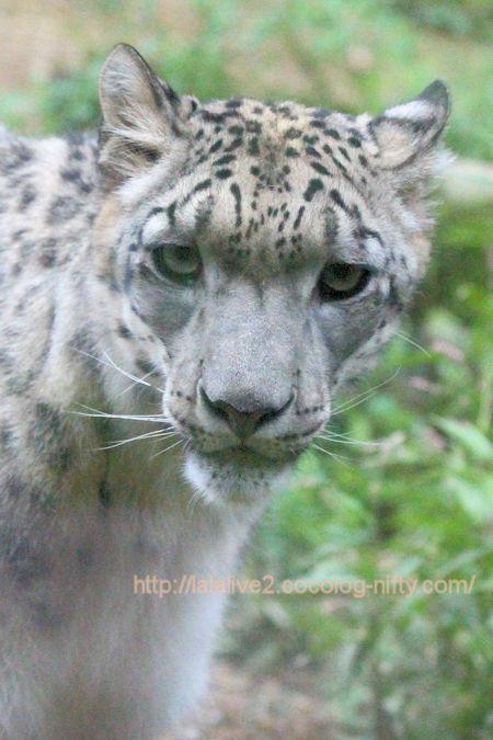 Snowleopard_kovo201806