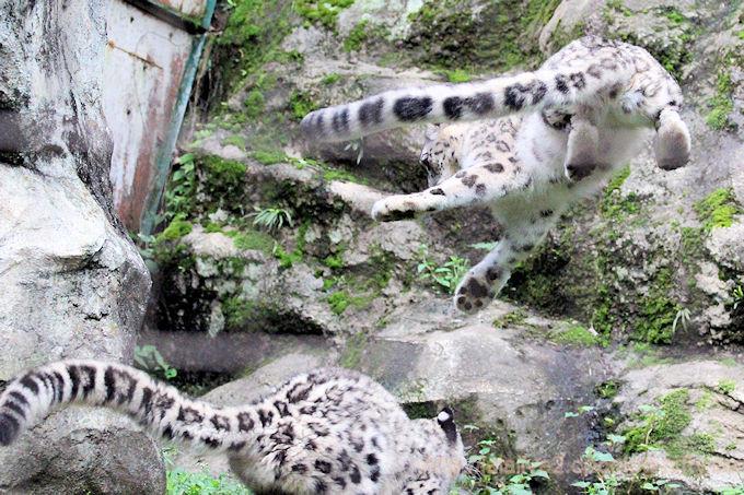 Snowleopard_fukumimi2018063
