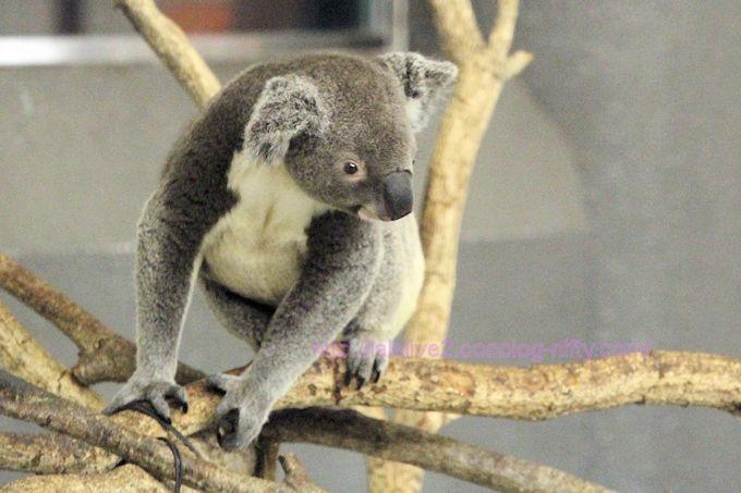 Koala201806