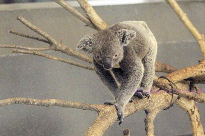 Koala2018061