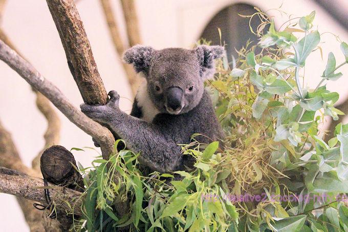 Koala2018062