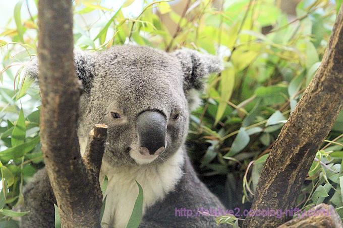 Koala2018063