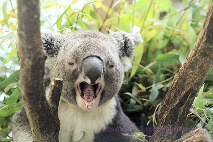 Koala2018064