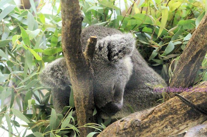 Koala2018066