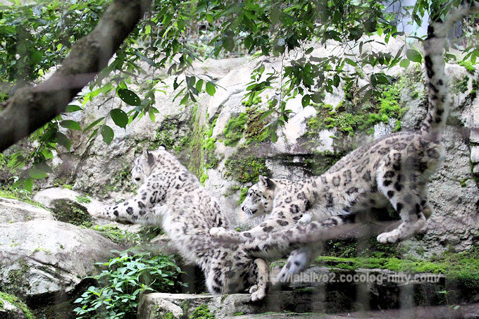 Snowleopard201806