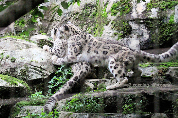 Snowleopard2018061
