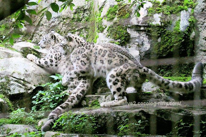 Snowleopard2018062