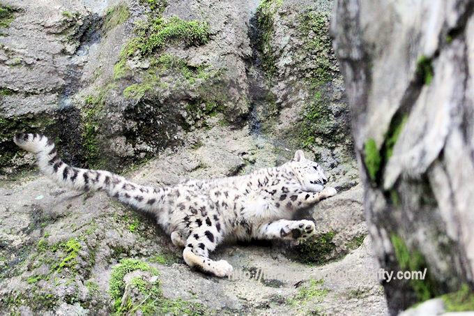 Snowleopard_fuku2018061