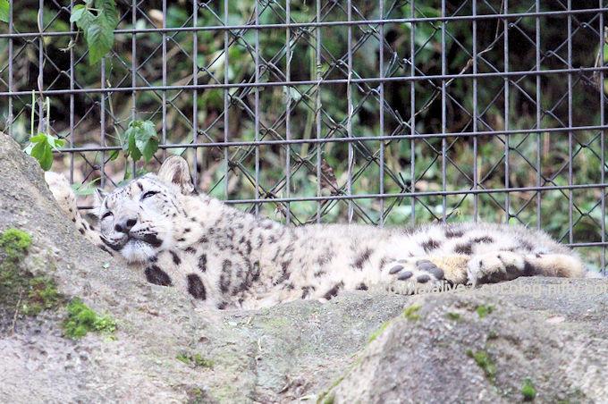 Snowleopard_fuku20180610