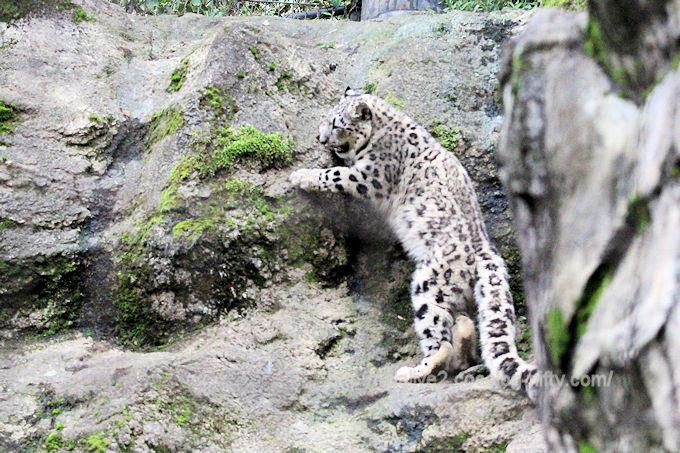 Snowleopard_fuku2018062