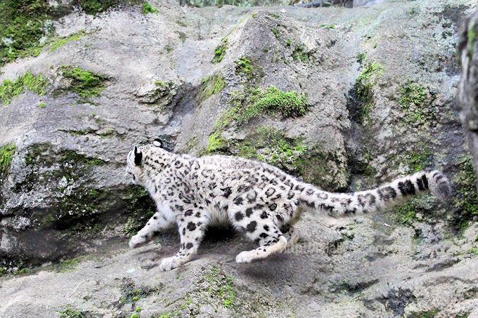 Snowleopard_fuku2018063