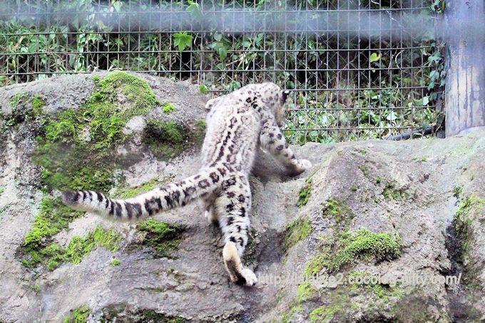 Snowleopard_fuku2018065