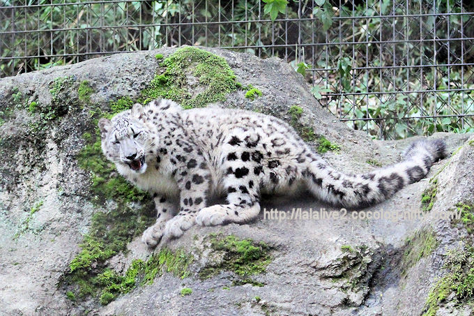 Snowleopard_fuku2018067