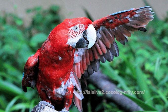 Macaw2018061