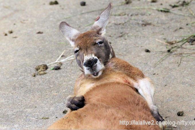 Kangaroo2018062
