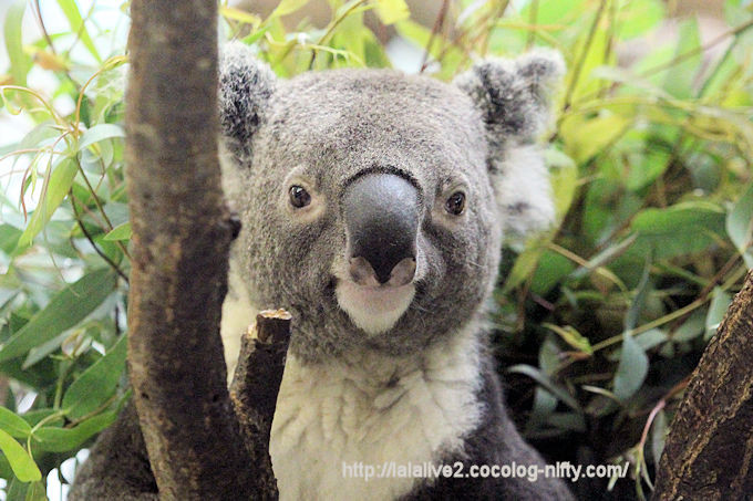 Koala2018067