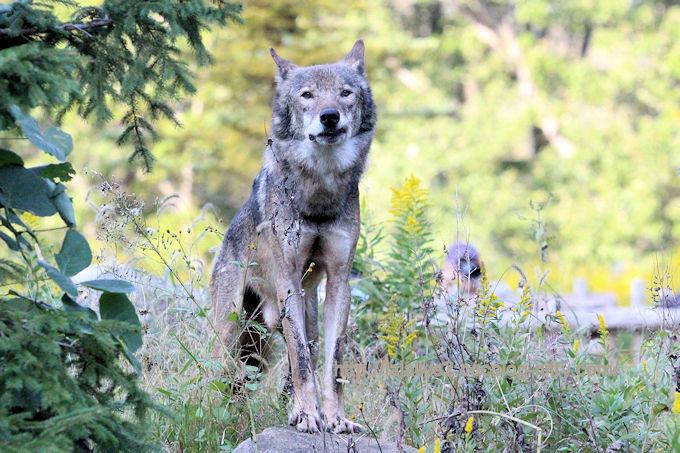 Wolf2018102
