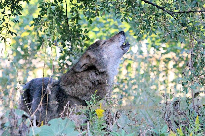Wolf2018103