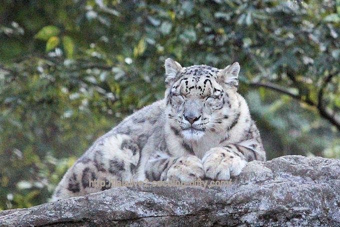 Snowleopardmimi2018102