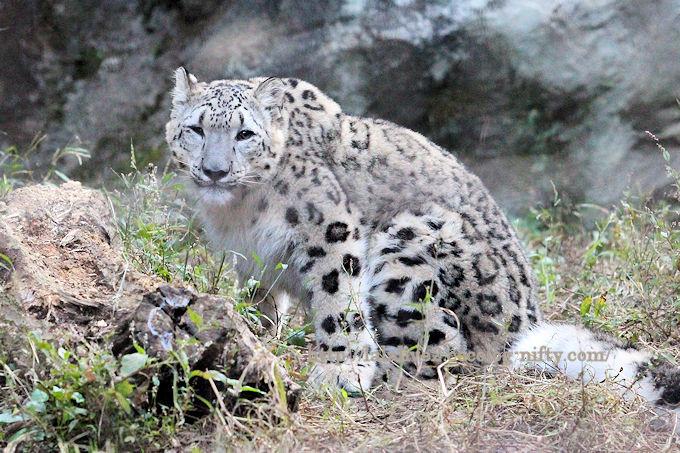 Snowleopardfuku201810