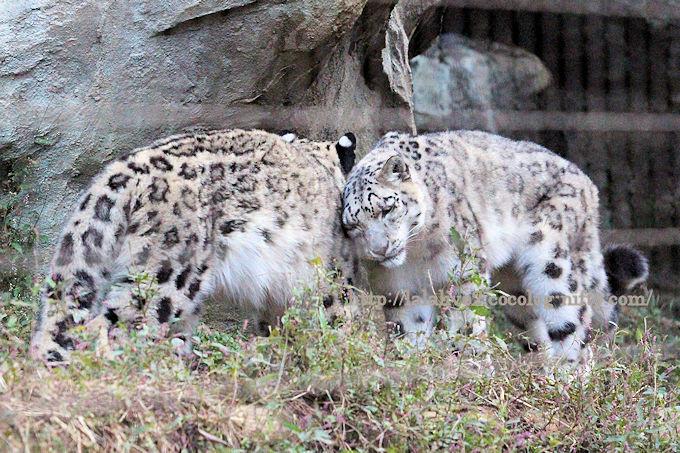 Snowleopardfukumimi201810
