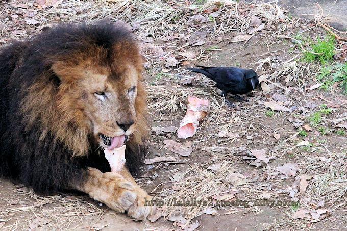Lion201812