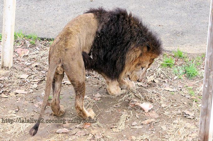 Lion2018122